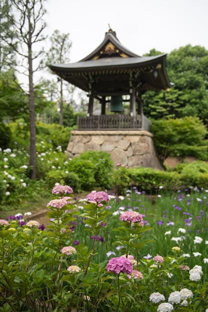 正覚寺【鐘楼と紫陽花】2