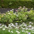 正覚寺【紫陽花と花菖蒲】1