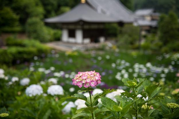 正覚寺【紫陽花】
