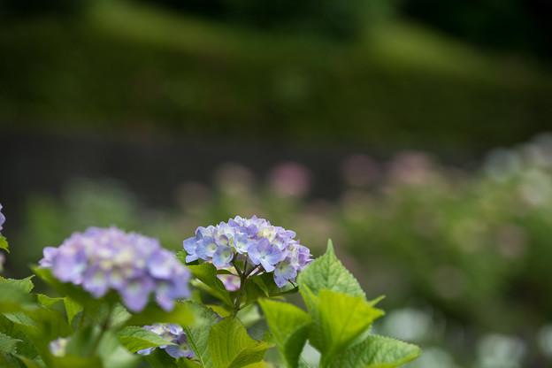 正覚寺【紫陽花】3