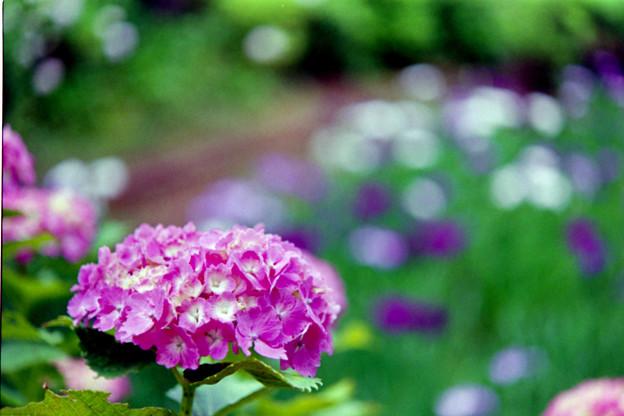 正覚寺【紫陽花】3銀塩