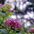 正覚寺【紫陽花】4銀塩