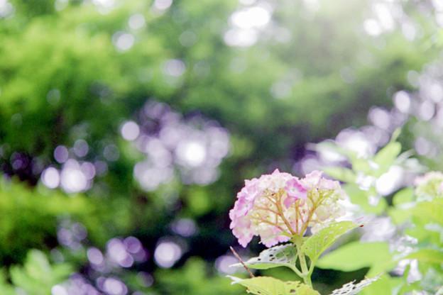 正覚寺【紫陽花】6銀塩