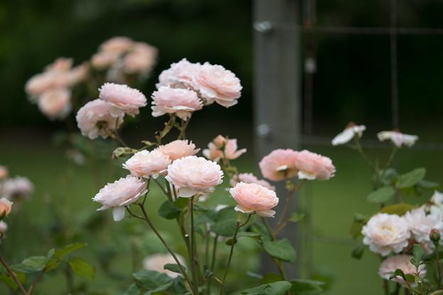 花菜ガーデン【春バラ:プリンセス・シャルレーヌ・ドゥ・モナコ】1