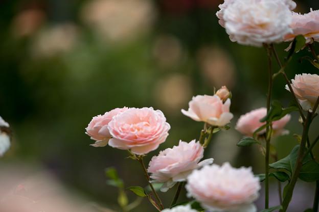 花菜ガーデン【春バラ:プリンセス・シャルレーヌ・ドゥ・モナコ】2