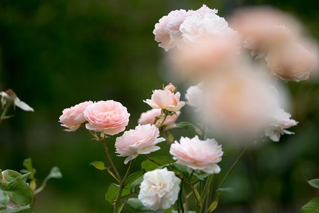 花菜ガーデン【春バラ:プリンセス・シャルレーヌ・ドゥ・モナコ】3