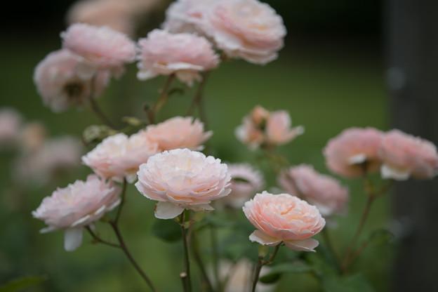 花菜ガーデン【春バラ:プリンセス・シャルレーヌ・ドゥ・モナコ】4