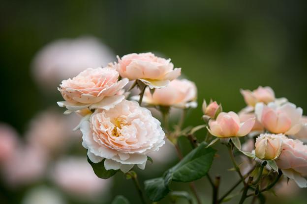 花菜ガーデン【春バラ:プリンセス・シャルレーヌ・ドゥ・モナコ】5