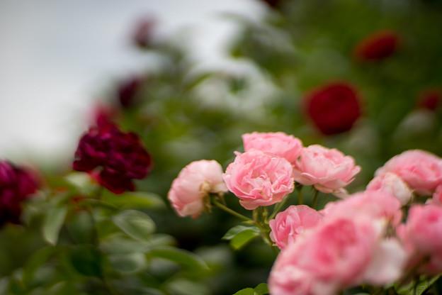 花菜ガーデン【春バラ:ギ・ドゥ・モーパッサン】1