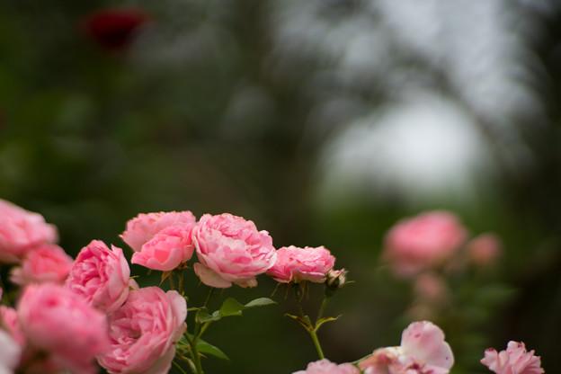 花菜ガーデン【春バラ:ギ・ドゥ・モーパッサン】2