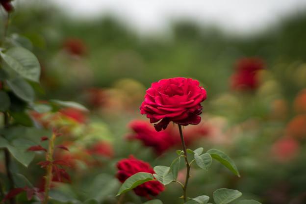 花菜ガーデン【春バラ:コンラッド・ヘンケル】1
