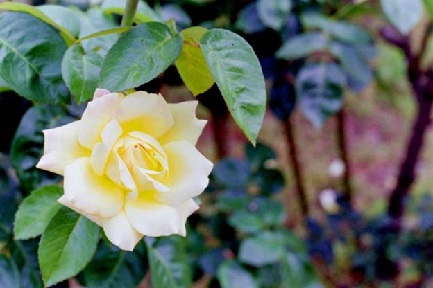 花菜ガーデン【春バラ:ピース】銀塩