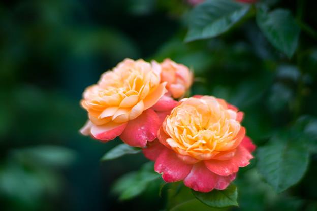 花菜ガーデン【春バラ:サマリタン】1