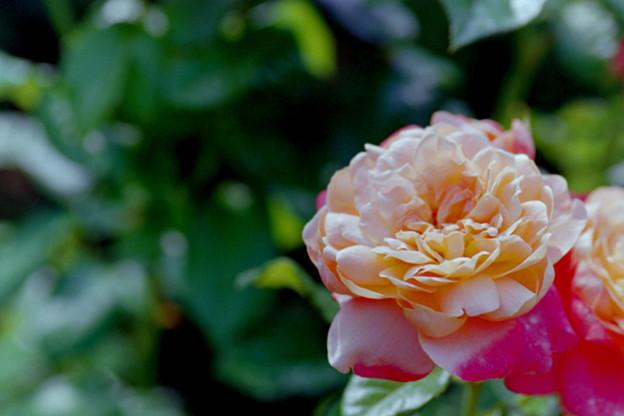 花菜ガーデン【春バラ:サマリタン】3銀塩