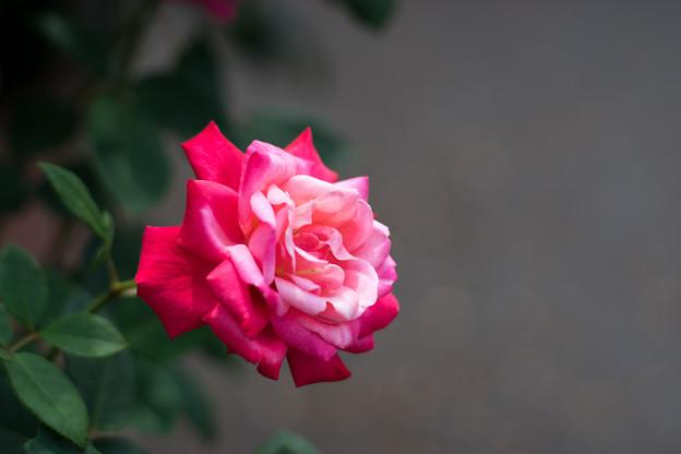 花菜ガーデン【春バラ:ステファニー・ドゥ・モナコ】1