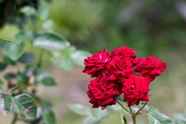 花菜ガーデン【春バラ:ニコロ・パガニーニ】
