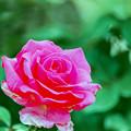 花菜ガーデン【春バラ:パローレ】銀塩