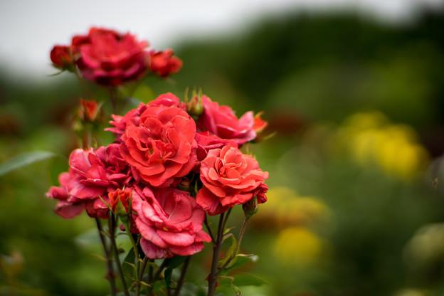 花菜ガーデン【春バラ:ブラック・ティー】