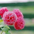 花菜ガーデン【春バラ:アライブ】銀塩