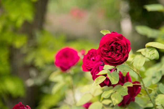 花菜ガーデン【春バラ:ザ・スクワイヤー】1