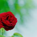 花菜ガーデン【春バラ:ザ・スクワイヤー】2銀塩