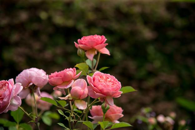 花菜ガーデン【春バラ:ボスコベル】