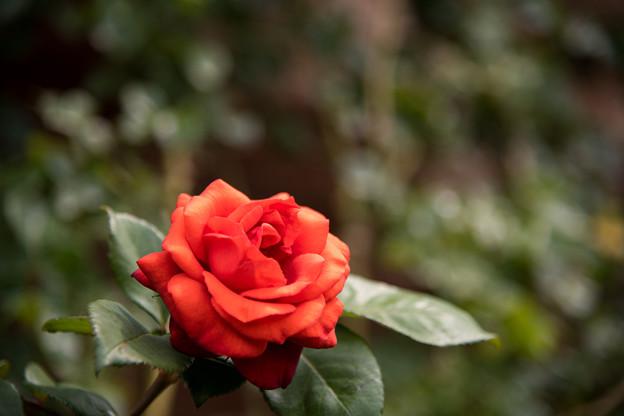 花菜ガーデン【春バラ:チョコレート・サンデー】
