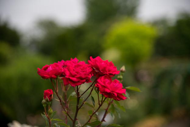 花菜ガーデン【春バラ:レッド・ニュー・ドーン】