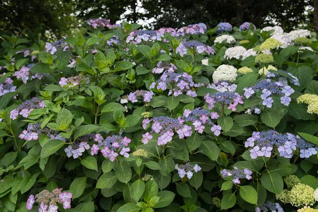 花菜ガーデン【ガクアジサイ】1
