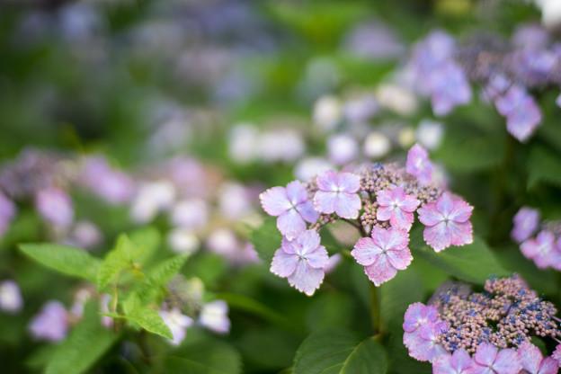 花菜ガーデン【ガクアジサイ】2