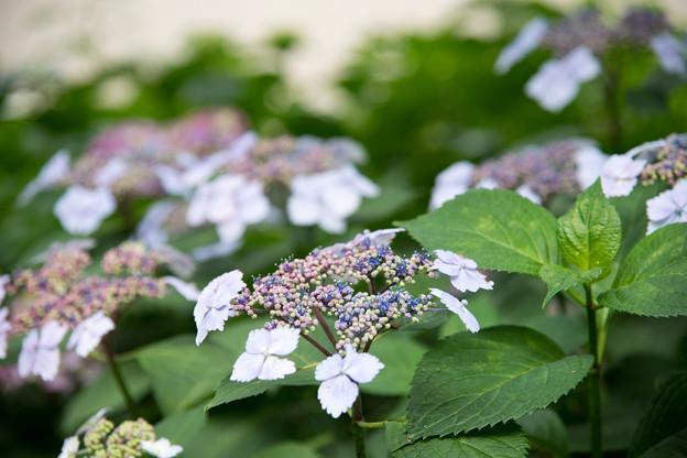 花菜ガーデン【ガクアジサイ】3
