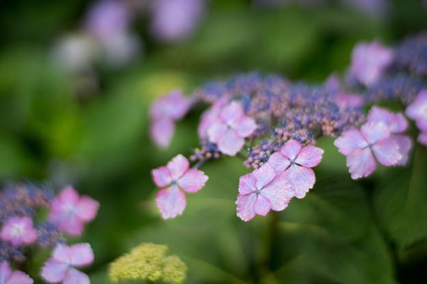花菜ガーデン【ガクアジサイ】4