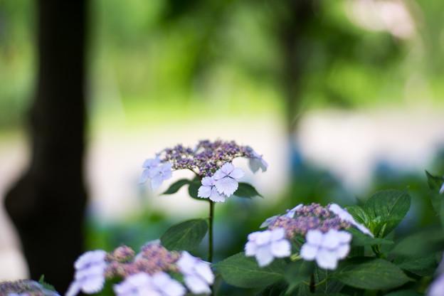 花菜ガーデン【ガクアジサイ】5