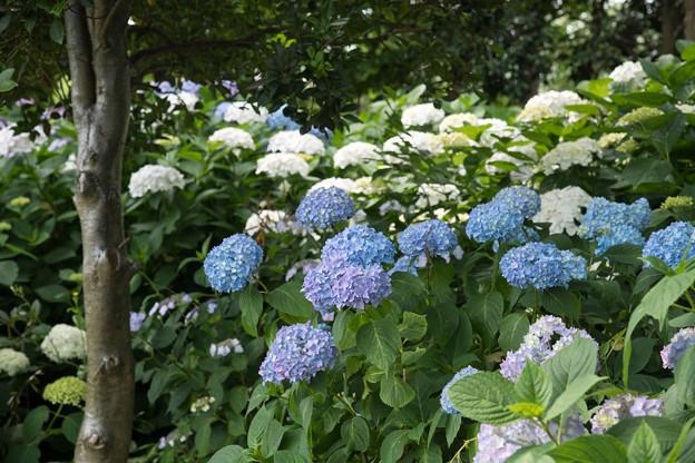 花菜ガーデン【アジサイ:青系】1