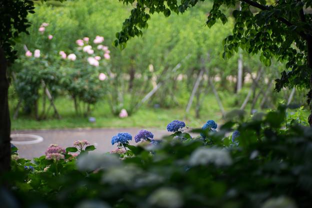 花菜ガーデン【アジサイ:青系】2