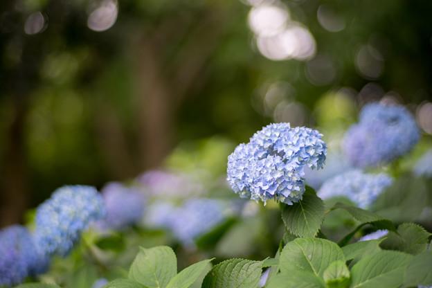 花菜ガーデン【アジサイ:青系】3