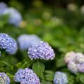 花菜ガーデン【アジサイ:青系】4