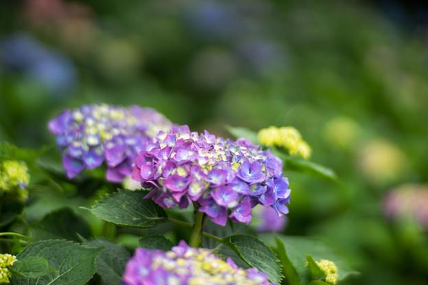 花菜ガーデン【アジサイ:青系】5
