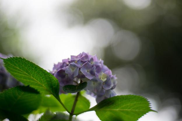 花菜ガーデン【アジサイ:青系】6
