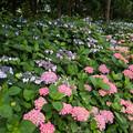 花菜ガーデン【アジサイ:赤系】1