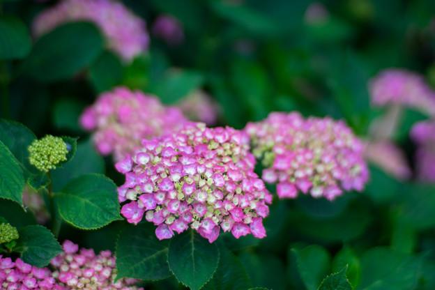 花菜ガーデン【アジサイ:赤系】2