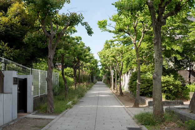早朝ウォーキング【近所の緑道:ナンキンハゼ】