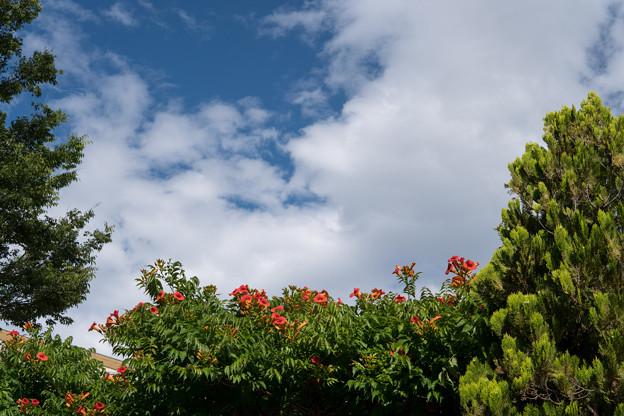 早朝ウォーキング【緑道の花:ノウゼンカズラ】
