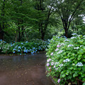 Photos: 府中市郷土の森【アジサイの小径沿い】6