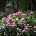 Photos: 府中市郷土の森【アジサイ】1