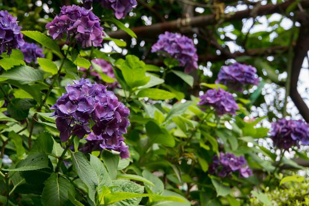 早朝ウォーキング【緑道沿いの花:紫アジサイ】