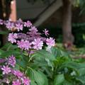 Photos: 早朝ウォーキング【緑道沿いの花:赤ガクアジサイ】
