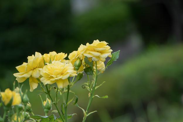 早朝ウォーキング【緑道沿いの花:バラ】