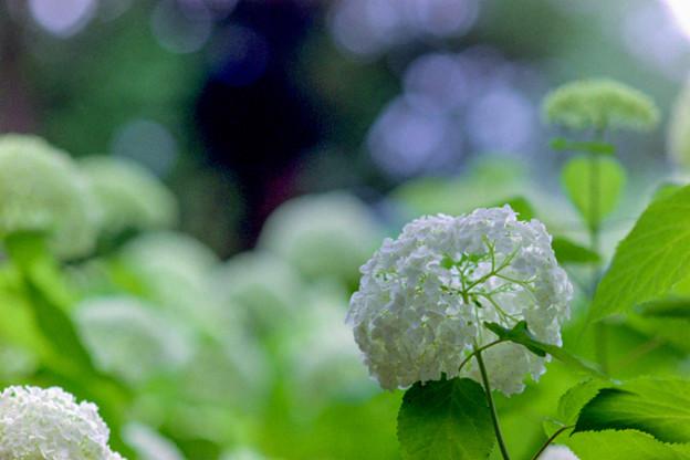 相模原北公園【紫陽花:アナベル】5銀塩