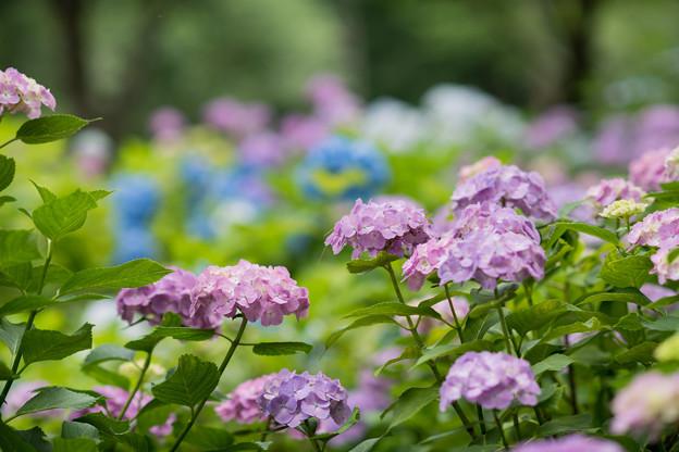 相模原北公園【紫陽花:混植の場所】2